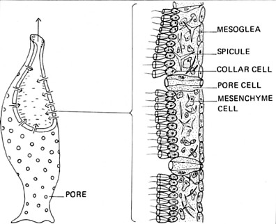 mr joanides 39 wiki pages licensed for non commercial use only  : porifera diagram - findchart.co