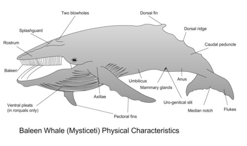 Sea Mammal  whale  http   www acsonline org factpack images whaleparts    Humpback Whale Skeleton Diagram